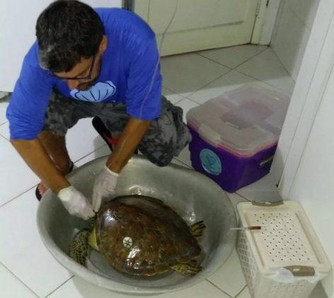Tartaruga ferida em praia do sul da BA se recupera com soro; ONG contabiliza 46 animais mortos este ano na região 8