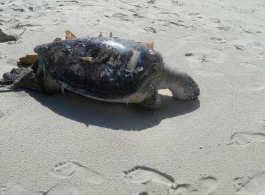 Tartaruga é encontrada morta após se prender em rede de pesca em praia de Ilhéus 7