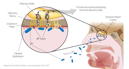 small resolution of pertussis diagram manual e bookiliad biotechnologiesiliad biotechnologies is partnered with leading scientists to investigate the relationship