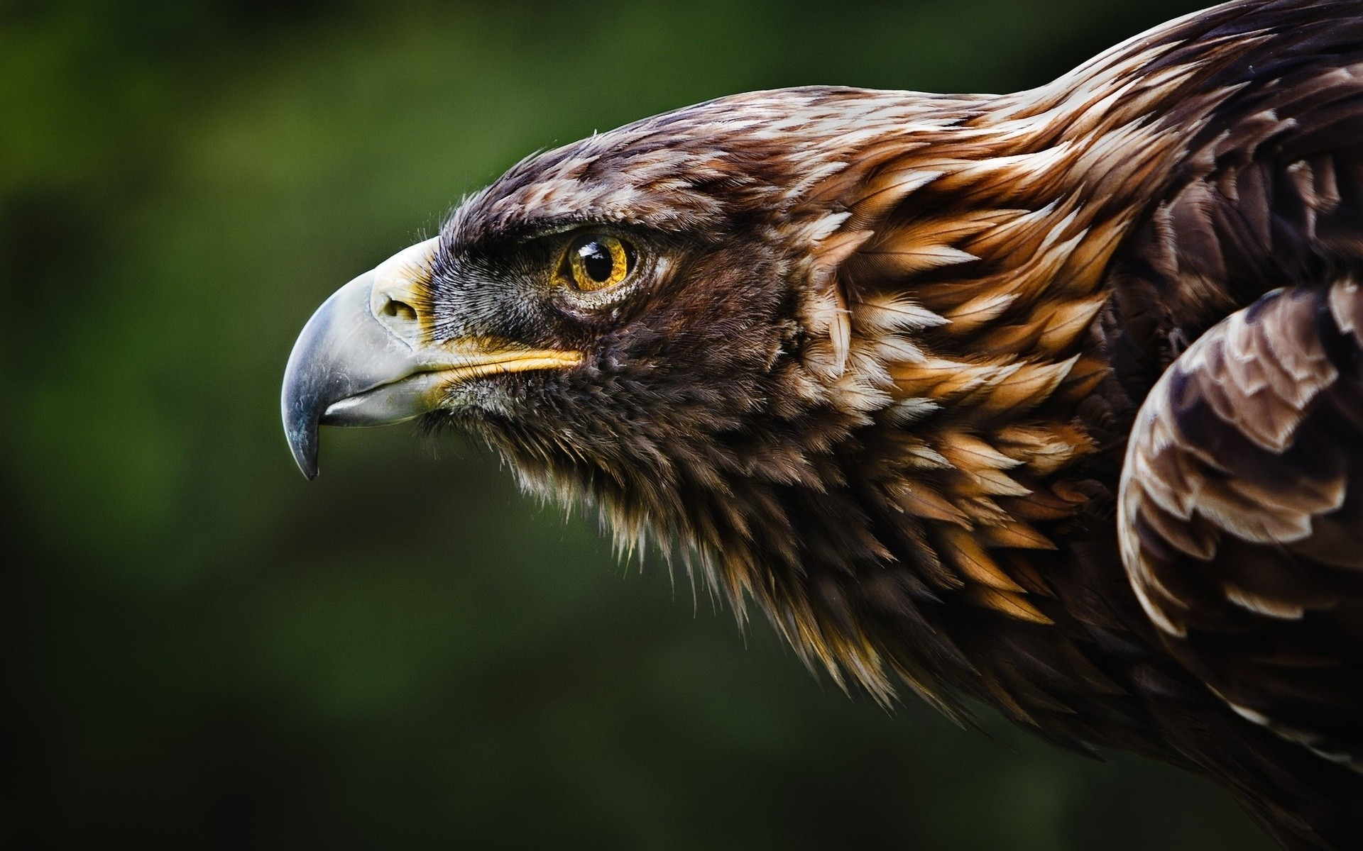 Daily Wallpaper Golden Eagle I Like To Waste My Time