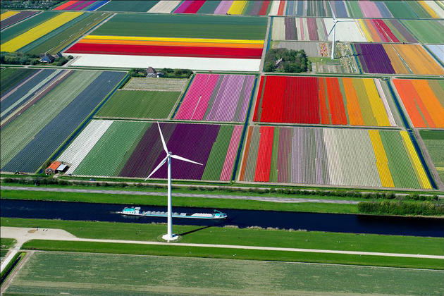 Tulip farm in Netherlands