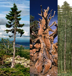 The Oldest Tallest Widest And Biggest Trees In The World I Like To Waste My Time