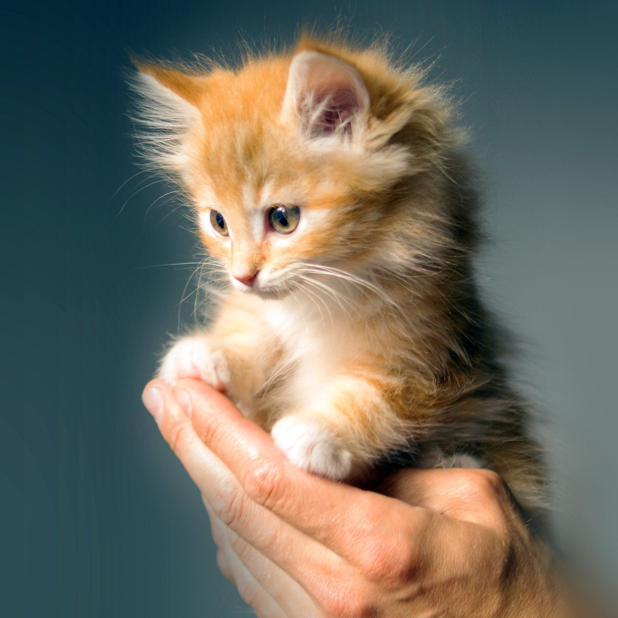 animal cute kitten cat nature ipad air wallpaper download | iphone