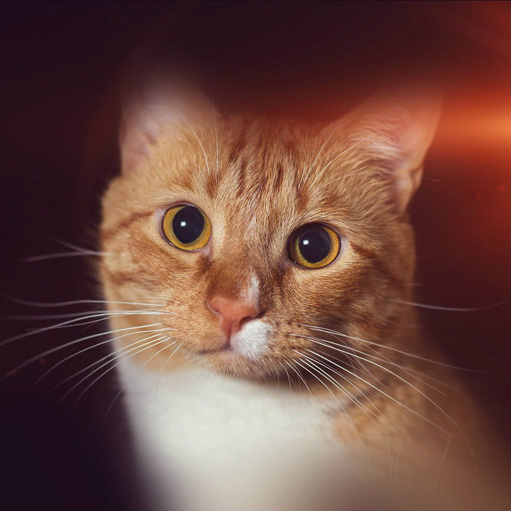 cat face eye animal cute nature flare orange ipad wallpaper