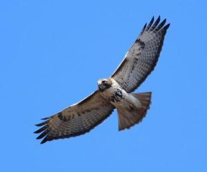 Red-tailed Hawk (Northern) by Matthew Winks