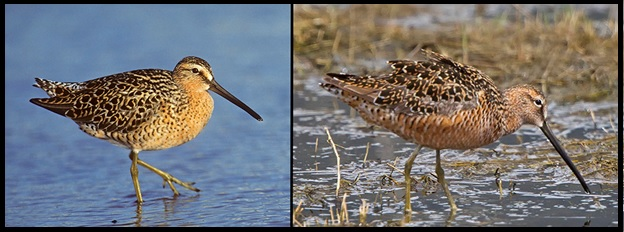 Breeding plumage hendersoni SBDO (left) and LBDO (right) photographed by Kevin Karlson.