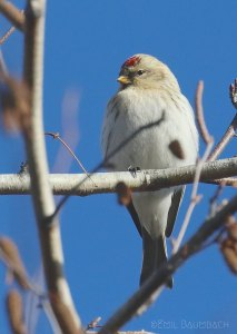 Hoary Redpoll by Emil August