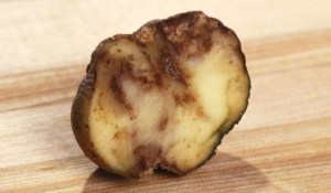 A potato infected with phytophthora infestans