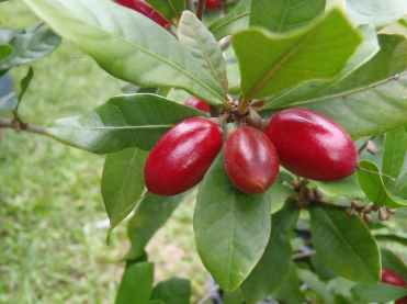 Miracle berries photo