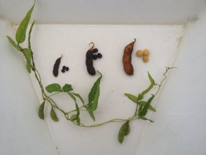 soybean genetics