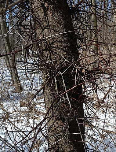 Black Locust Vs Honey Locust Thorns