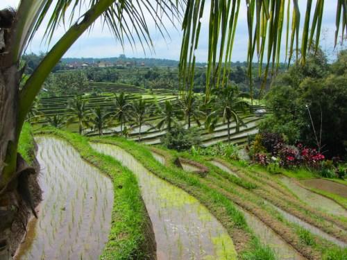Bali - Risaie