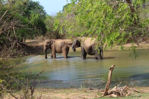 Sri Lanka - elefanti a Yala National park3