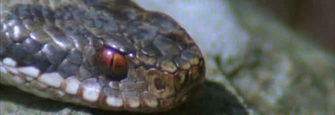 Morsa da un serpente nel sonno, si sveglia e allatta la figlioletta: morte mamma e bimba