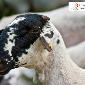 La pecora bagnolese rareca