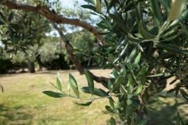 Tora Farm, l'olio extravergine dalla Baia Domizia