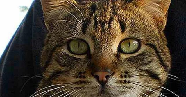 Perché alcuni gatti hanno una macchia a forma di M sulla fronte?