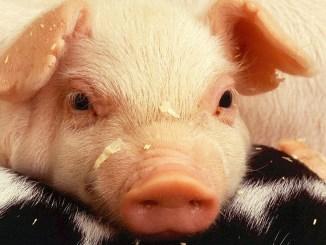 Noi cazuri de Pestă Porcină Africană. FOTO skeeze