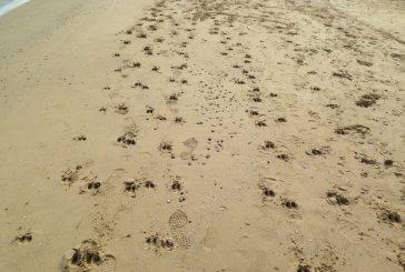Cinghiali a spasso sulla spiaggia di Punta Penna