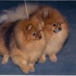 spitz-cani
