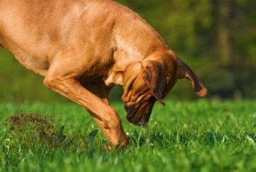 Un cane trova un osso appartenente a uno scheletro umano