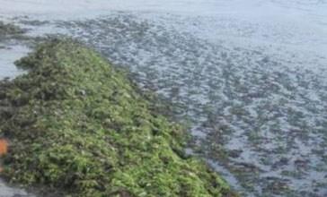 Alghe sulla spiaggia, si lavora per la rimozione