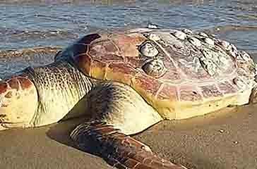 San Salvo, tartaruga spiaggiata vicino al porto