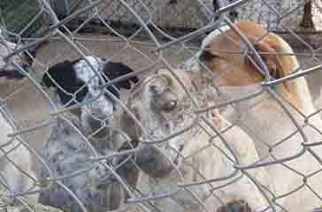 Vasto, abbandonati 4 cuccioli di pastore tedesco