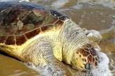 Tre tartarughe spiaggiate in pochi giorni