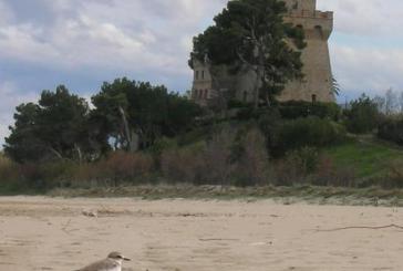 Progetto Salvafratino individua primi nidi su costa Abruzzo