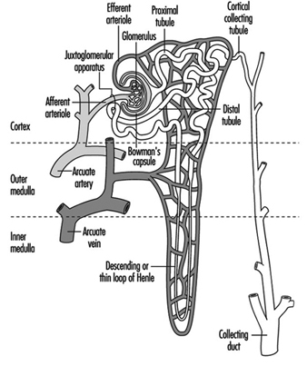 Renal-Urinary Systems