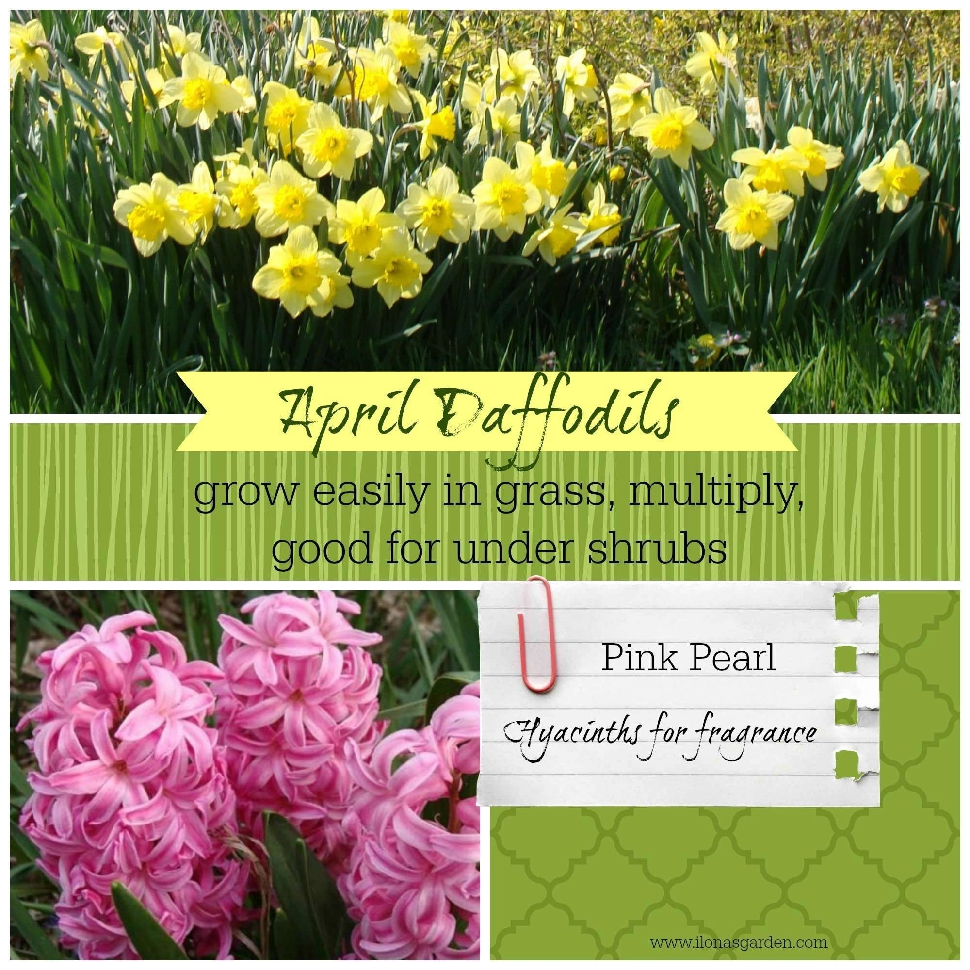 When how to plant daffodil bulbs - Spring Bulbs Blooming In April