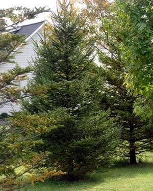 a spruce planted in the yard - Living Christmas Tree
