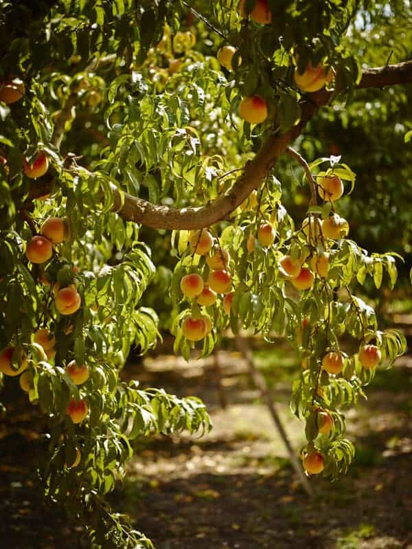 Bunces of peaches growing on a tree.