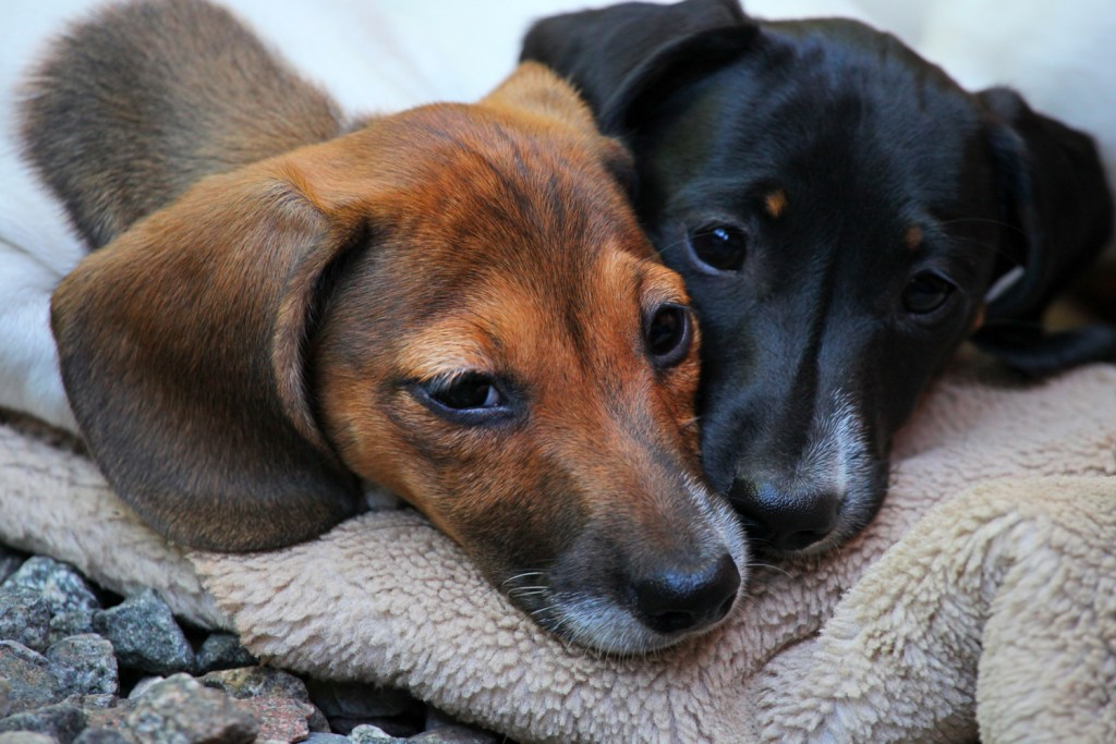 Should I Get Two Dachshunds? Two dachshunds laying together on a soft cosy blanket