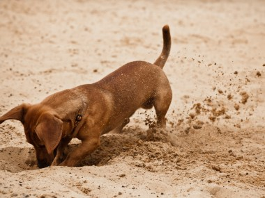 Dachshund digging a hole in the sand on the beach