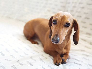 Why do dachshunds shake? A shaking dachshund laying on a bed looking anxious