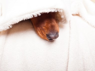 A dachshund under a blanket with nose poking out