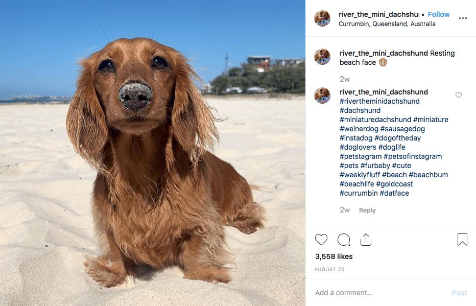 Instagram screenshot of @river_the_mini_dachshund