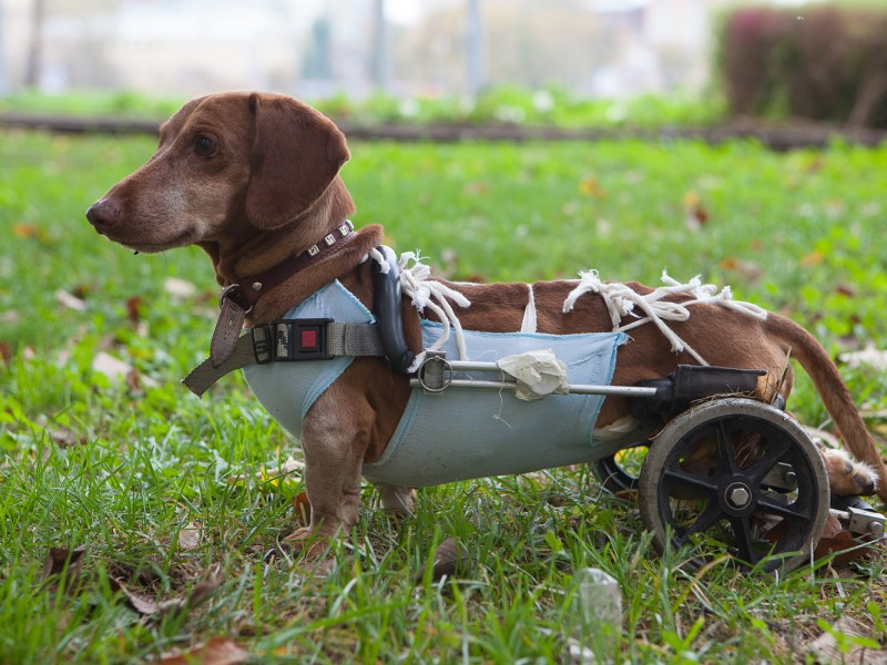 Dachshund with IVDD in a dog wheelchair mobility cart