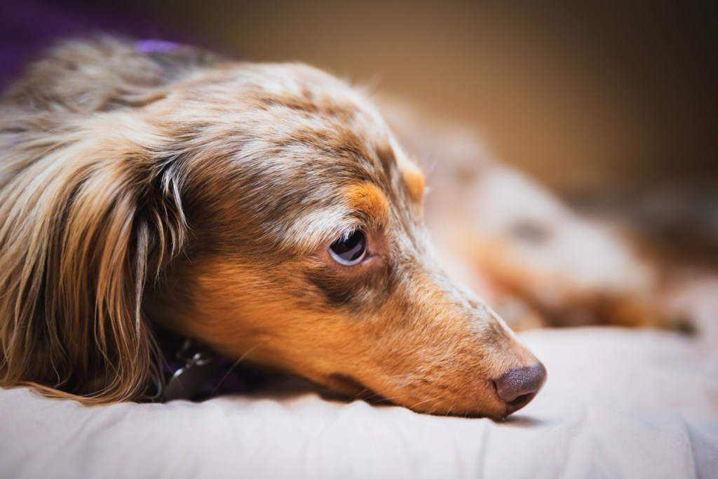 Dachshund laying on the floor with a bad back and sad eyes