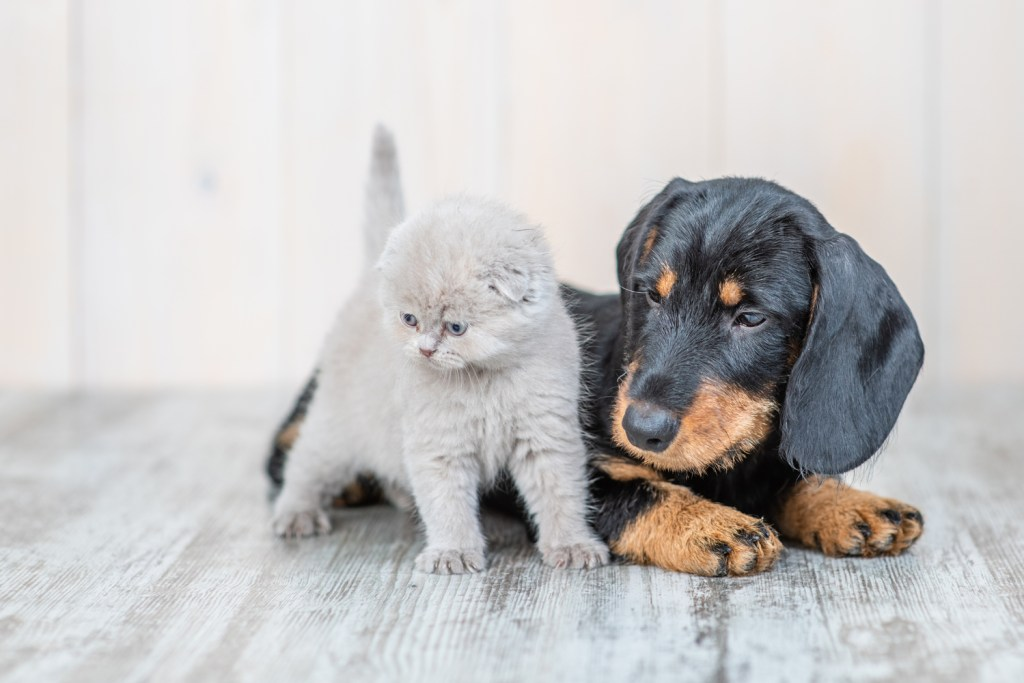 Can Dachshunds Live with Cats? Dachshund puppy laying next to dachshund kitten