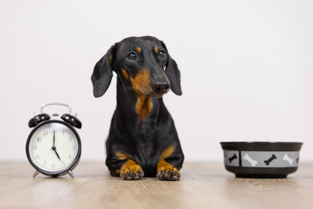 What time should you feed a dachshund? A dachshund sat next to a clock and a dog bowl waiting for dinner