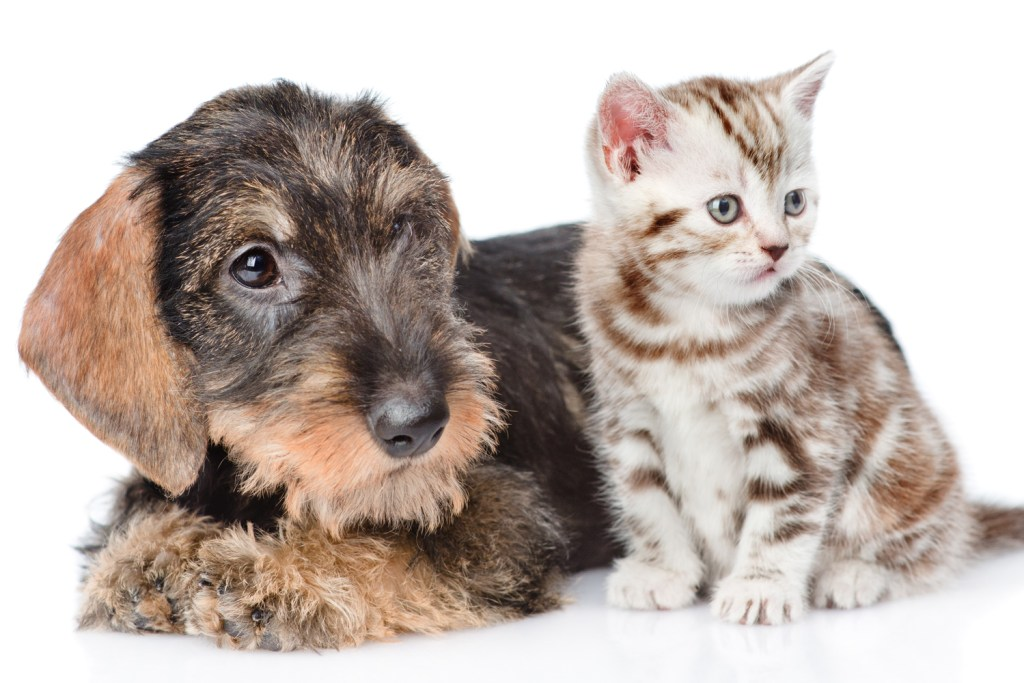 Can Dachshunds Live with Cats? Wire-haired dachshund sat next to kitten on white background
