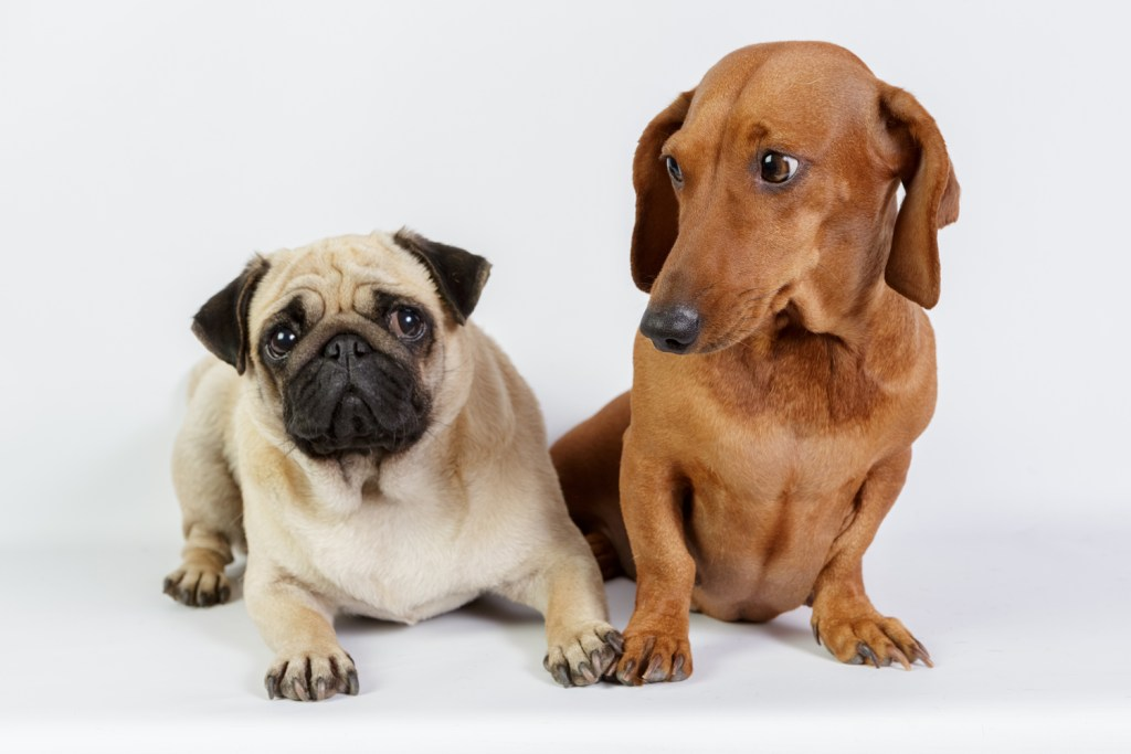 Can dachshunds live with other dogs? Dachshund sat next to a pug and looking at him