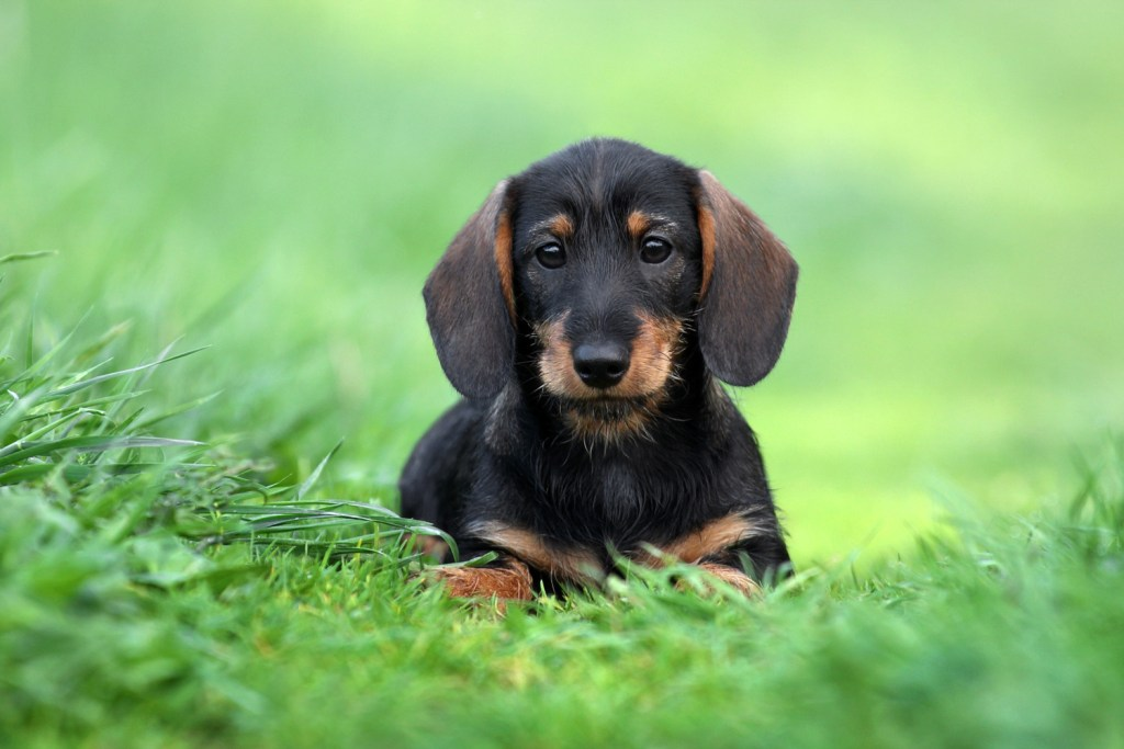 Dachshund puppy on the grass doing potty training