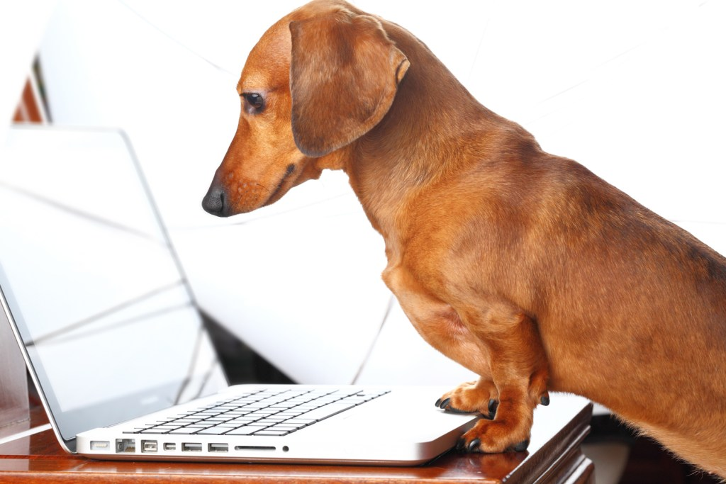 How To Care For a Dachshund. Dachshund with paws on the table doing research at a laptop computer screen