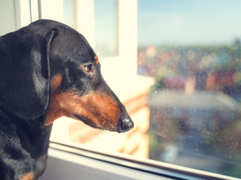 Dachshund with separation anxiety looking out of the window