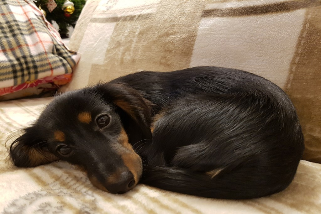 Dachshund curled up and sleeping on the sofa