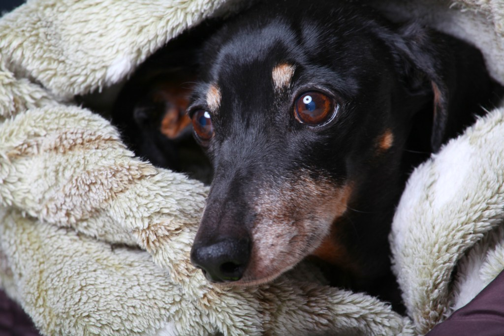 Why Do Dachshunds Go Under a Blanket? Dachshund's head poking out of a cosy blanket